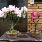 石楠花と桃